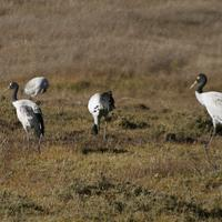 Black necked cranes (Thrung Thrungs) at the Phobjikha valley in central Bhutan.