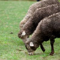 Sandyno sheep of the Nilgiris out for pasture at the grasslands near Ooty