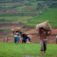 Workers carrying loads of harvested carrots to be transported out to the markets.