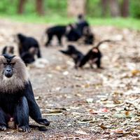 A dominant Lion Tailed Macaque guarding its tribe from intruders (aka us)