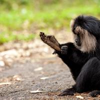 A lion tailed macaque grooming itself.