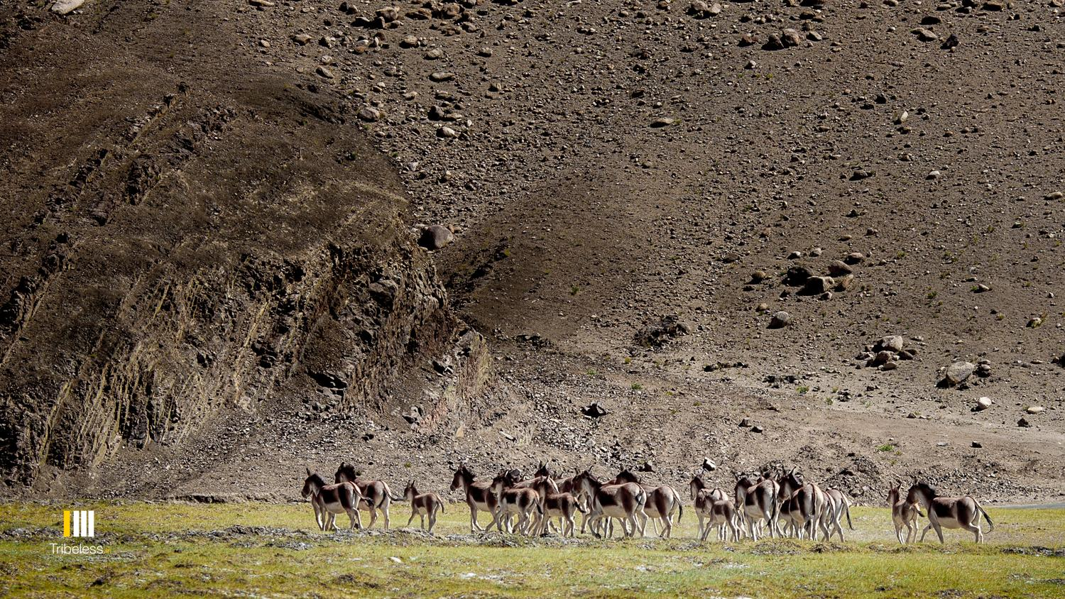 A large herd of Kiangs grazing by the Hanle river.