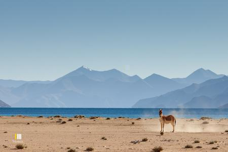 A Kiang on the shores of the Pangong Lake