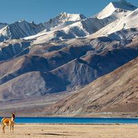 A Kiang at the Pangong Lake