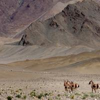 Kiangs on the Hanle Plains