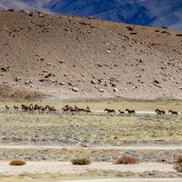 A herd of Kiangs grazing along the road to Hanle.