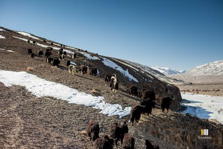 Yaks grazing on the hillsides above the Tokung pastures