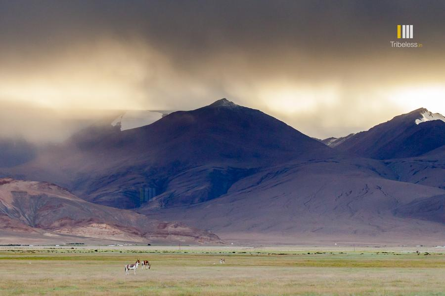 Kiangs grazing in Hanle under the dazzling glow of the setting sun