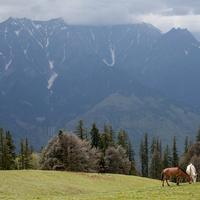 Horses grazing on the Pandu Ropa meadows above Vashist