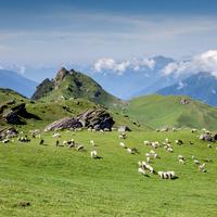 Sheep grazing on the lust green meadows below the Pandu Ropa peak.