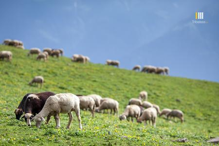 Sheep grazing on the lush meadows above Manali