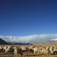 Pashmina Sheep Grazing on the shores of Tsomoriri.