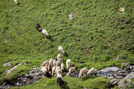 Sheep on a stream