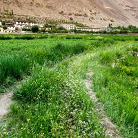 Wild flowers blooming along the irrigation channels bringing waters to the fields around the Tabo village in the Spiti Valley.