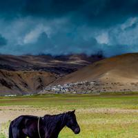 A black horse grazing in the grasslands outside the Korzok village on the banks of the Tsomoriri lake.